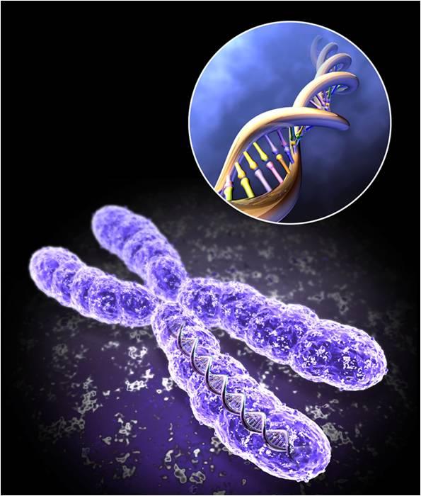 """Хромозомата е """"пакет"""" от генетична информация, а теломерът е повтаряща се ДНК редица в края на хромозомата."""