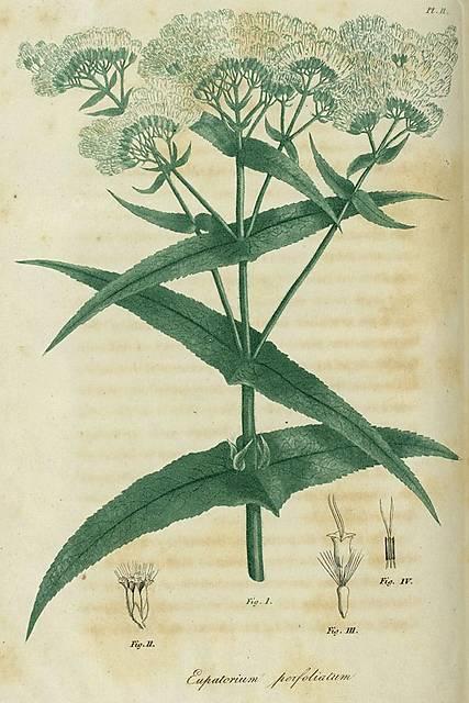 bigel-pl02-eupatorium-perfoliatum