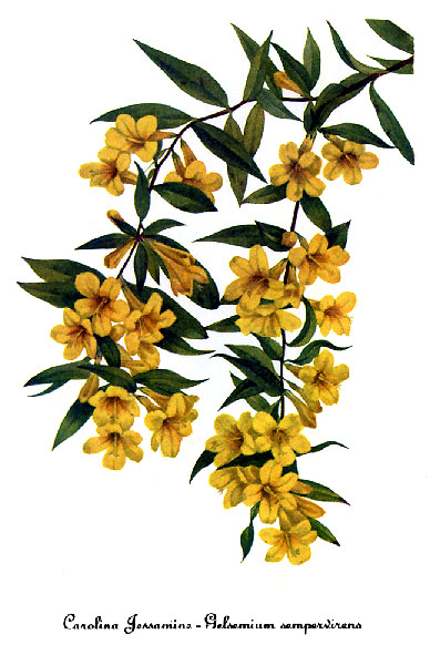 Gelsemium_sempervirens,_by_Mary_Vaux_Walcott