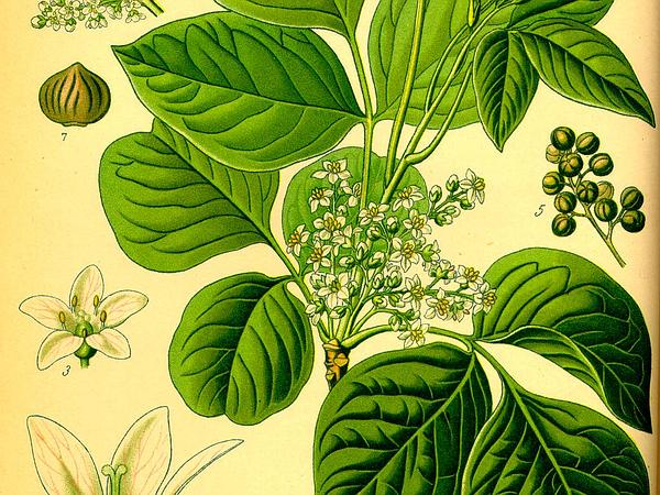 Illustration_Rhus_toxicodendron0_600
