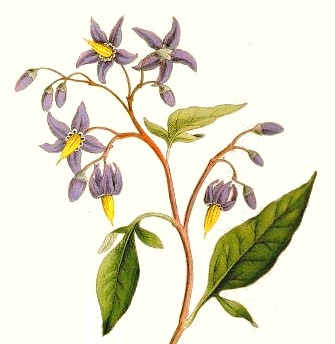 solanum_dulcamara_flower